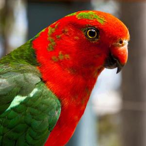 Parrot (Photo June Lahm)